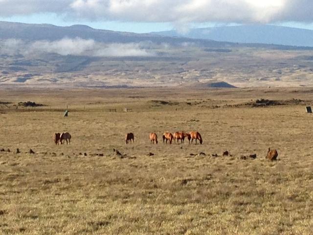 Horses waimea 1
