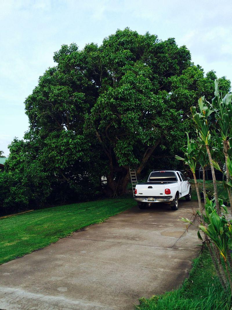 Tree mango
