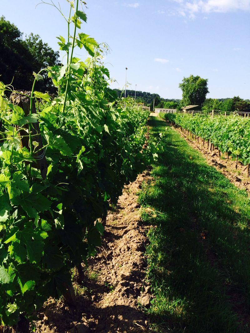 Vines JM