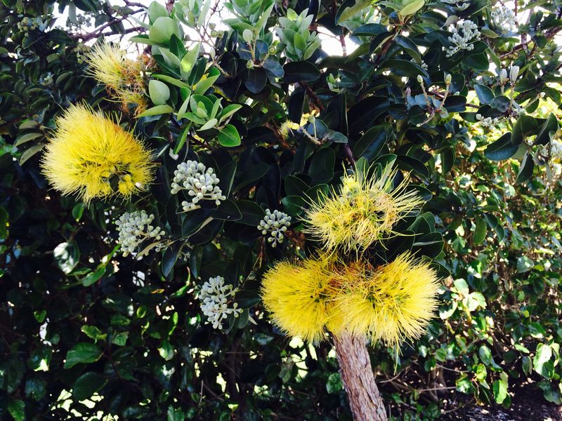 Tree lehua blossoms