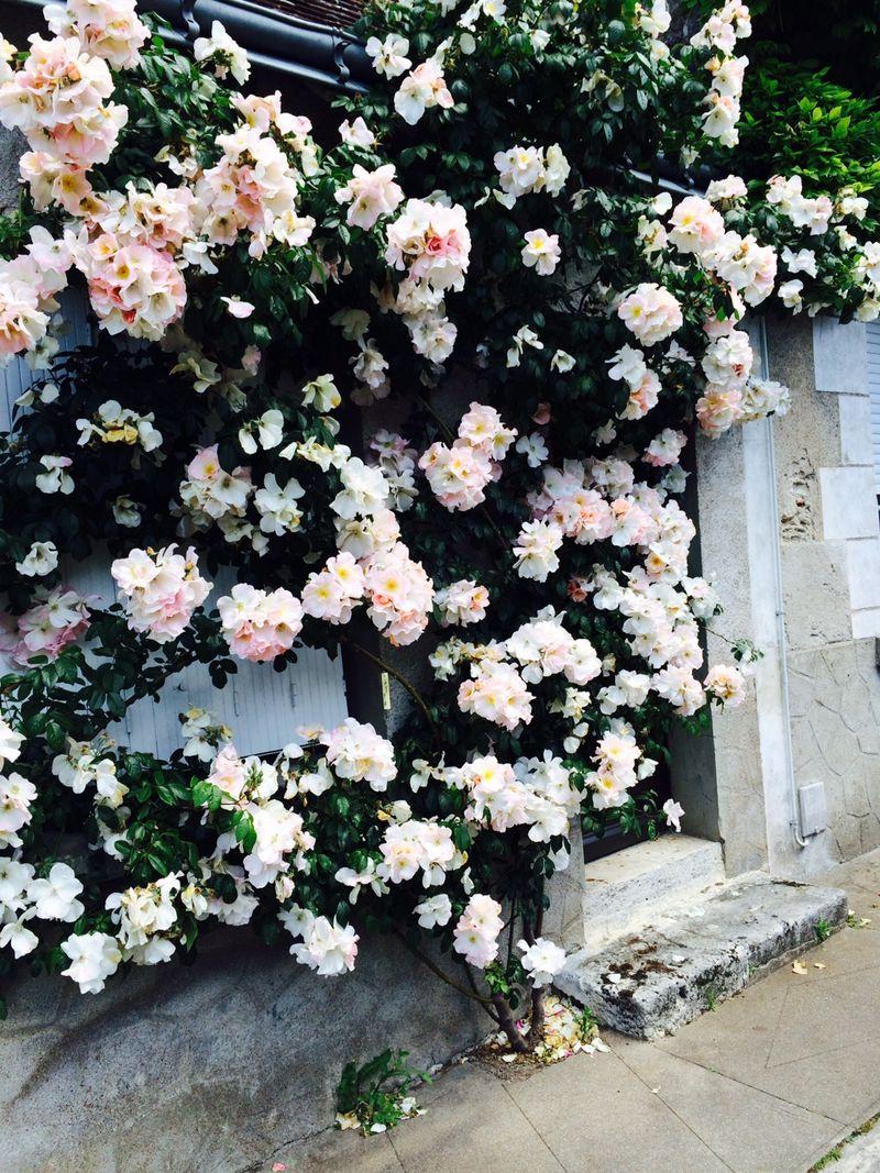 Chevigny roses 3